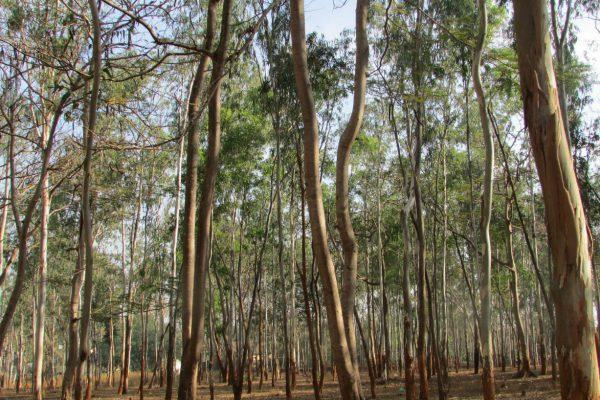 עץ אקליפטוס להסקה
