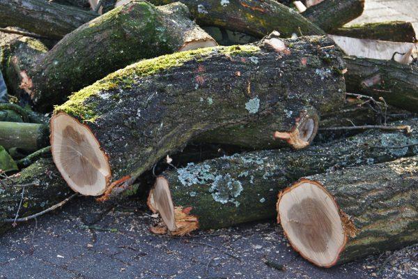 עץ סיסם הודי להסקה